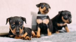 Microchip per cani: come funziona e quali sono i costi