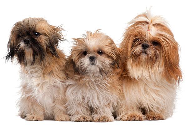 Razza cani piccola taglia