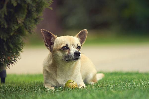 Razza cani piccolissima taglia