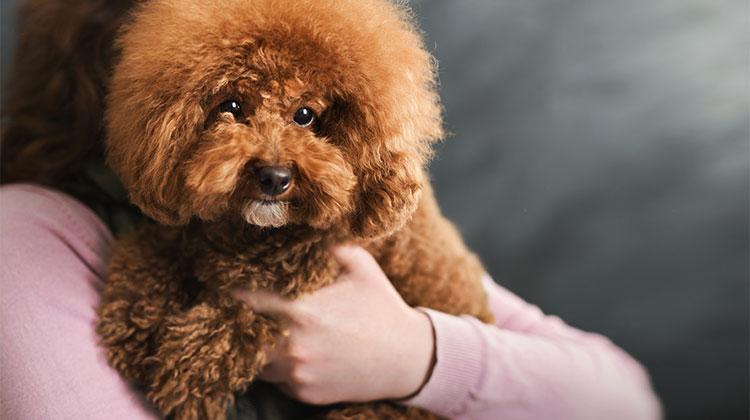 Cani di piccolissima taglia a pelo corto