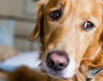 Febbre del cane: tutte le informazioni di cui hai bisogno